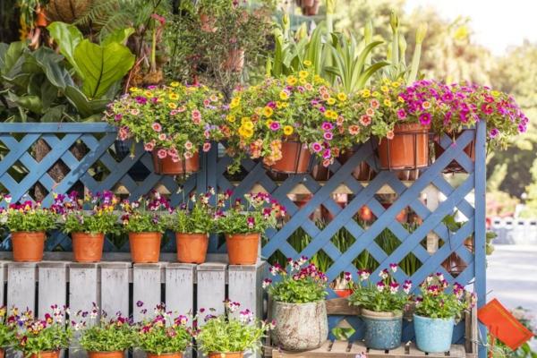 Petunien Kübelpflanzen Wand Spalier Tipps