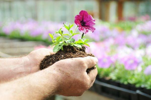 Petunien einpflanzen Setzlinge Pflege Tipps