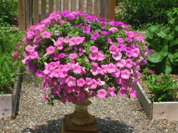 Petunien im Garten Farbtupfer Pflege Tipps