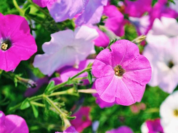 Petunien winterhart farbenfrohe Blüten