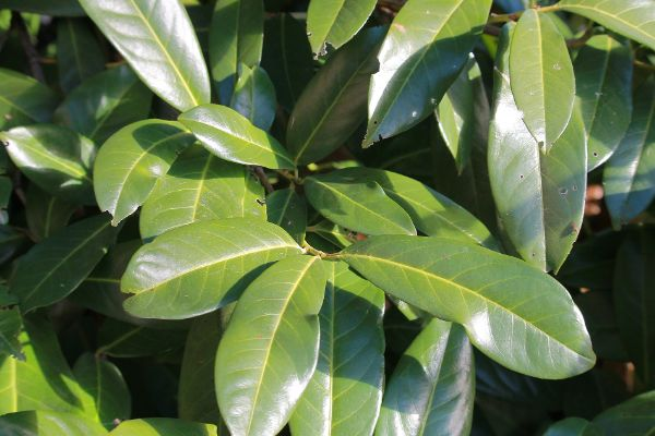Sehr gut erhaltene Blätter Kirschlorbeer schneiden