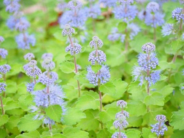bartblume beliebte gartenpflanze sommerblüher