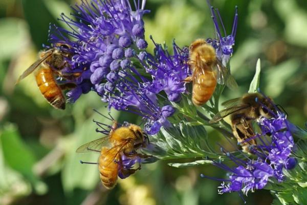bartblume bienenfreundliche gartenpflanze sommer herbst