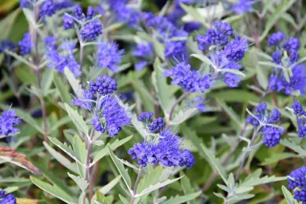 bartblume pflegetipps gartenpflanzen richtig überwintern