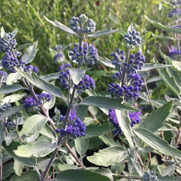 bartblume prächtige blaue blüten kennzeichnende blätter