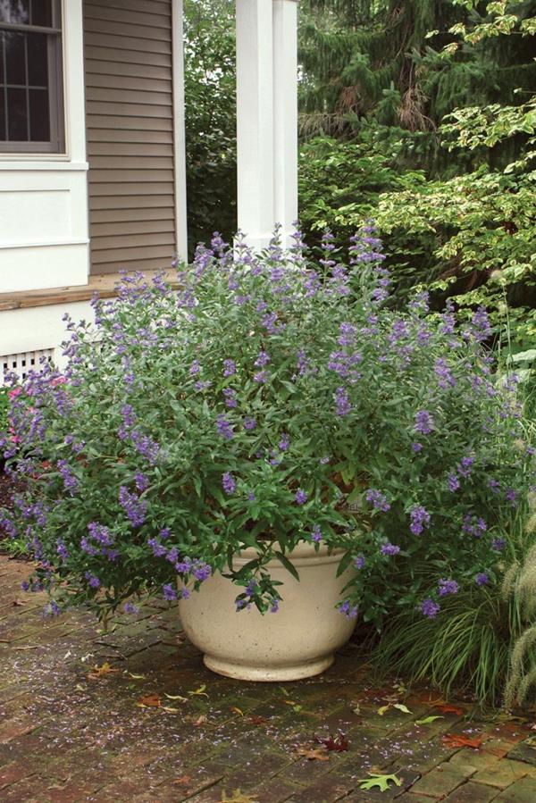 bartblume topfpflanze eingang dekorieren ideen