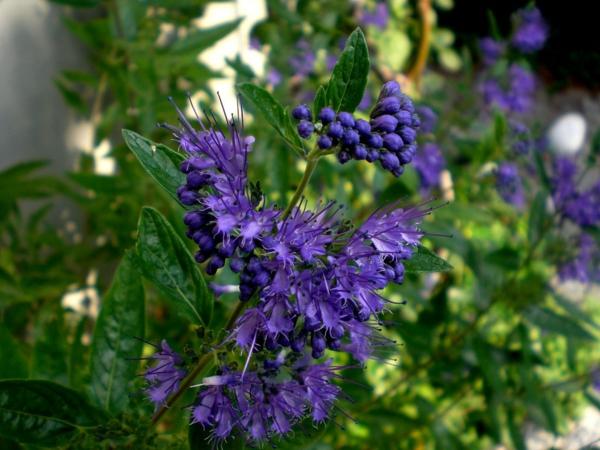 bartblume wunderschöne blaue blüten bienenfreundlich