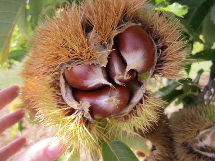 maronen rezepte kandierte maronen frucht