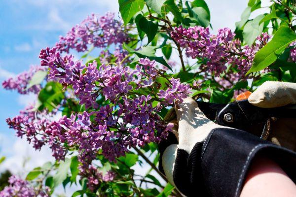 tolle Ideen für die Gartenegstaltung Flieder